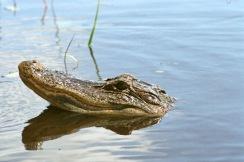 alligator-405103