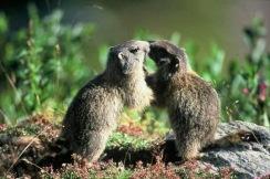 marmottes-404614