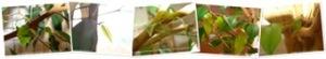 Afficher Ficus (suite)