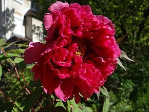 290px-Fleur_de_pivoine_arbustive