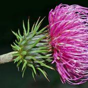 375px-Carduus_defloratus_-_blossom_(aka)