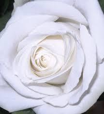 images coeur de rose blanche