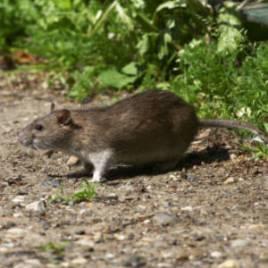 les-recentes-innondations-ont-mecaniquement-fait-apparaitre-les-rats-dans-les-foyers-britanniques_51311_w300 this is a rat...