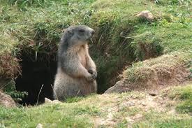telechargement-marmotte-2