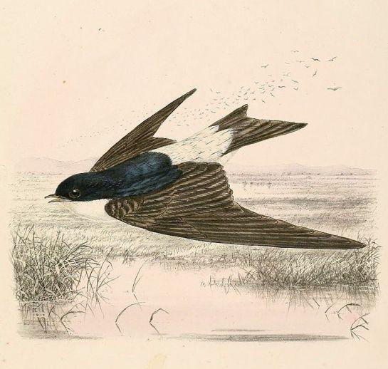 800px-Delichon_urbicum_lagopodum_1894